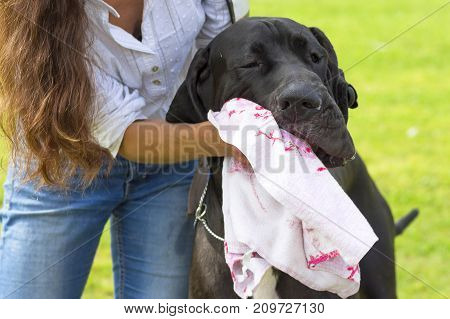large black dog is mopped with a white towel. The Great Dane is a breed of giant dogs. Head with open jaws against the background of green blurred grass, a look forward to a close-up. Space under the text. 2018 year of the dog in the eastern calendar
