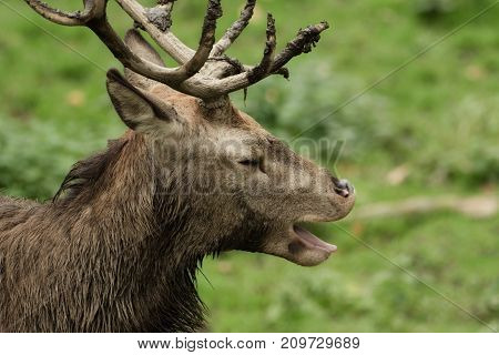A deer yawning with closed eyes,  standing on the meadow