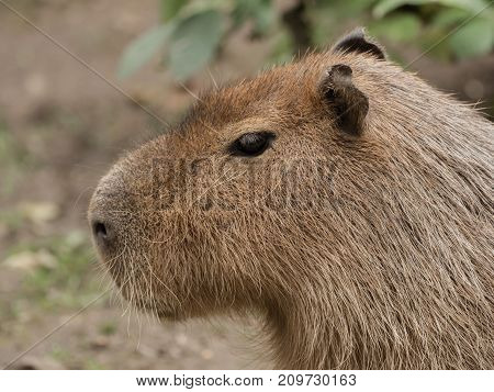 Head of a capybara standing on the field