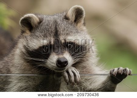 A sweet little racoon just looking around