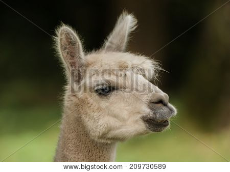 Head of a llama standing on the field