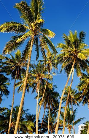 Palm trees agains blue sky in Lavena on Taveuni Island Fiji. Taveuni is the third largest island in Fiji.
