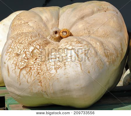 giant pumpkin in the sun waiting to be weighed