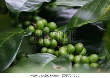 Fresh green coffee beans fruits growing on the branch