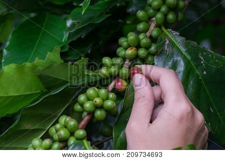 Fresh green coffee beans fruits growing on the branch in woman hand.