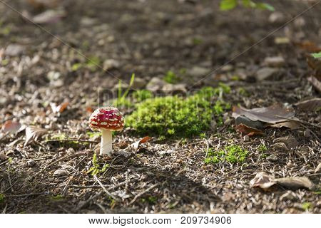 small dangerous poisonous mushroom Amanita muscaria in forest on ground green moss brown leaves light long shadow