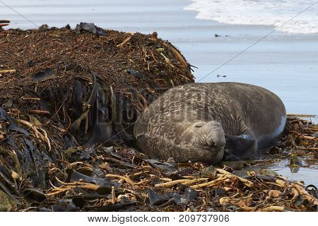 Male Southern Elephant Seal (Mirounga leonina) scratches itself with a flipper whilst lying on a kelp strewn beach on Sea Lion Island in the Falkland Islands.