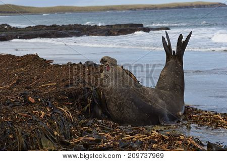 Male Southern Elephant Seal (Mirounga leonina) pirouettes to see a rival whilst on a kelp strewn beach on Sea Lion Island in the Falkland Islands.