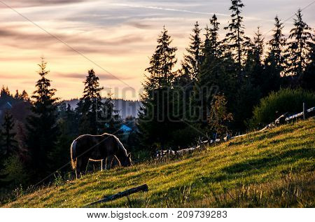 lonely horse grazing on grassy hillside meadow. pasture not far from the village near the spruce forest in mountains at sunset