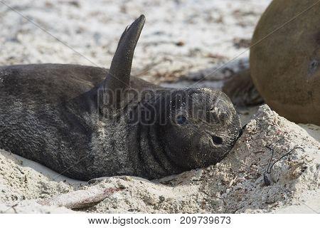 Recently born Southern Elephant Seal pup (Mirounga leonina) on a sandy beach on Sea Lion Island in the Falkland Islands.