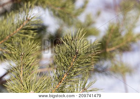pine branch in nature . In the park in nature