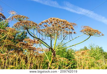 Cow parsnip or the toxic hogweed in summer sunny day