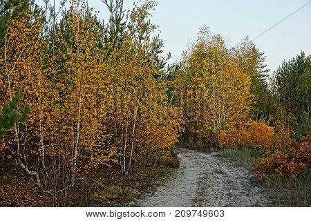 Yellow birches and bushes on the edge of a forest with a sandy road