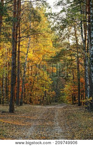 Birches and pines with a forest road in an autumn park