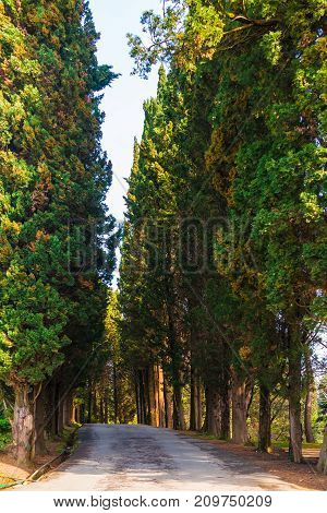 View of cypress alley in Sochi Arboretum in sunny day Russia