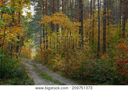 Sandy road along the pines and vegetation with colored leaves