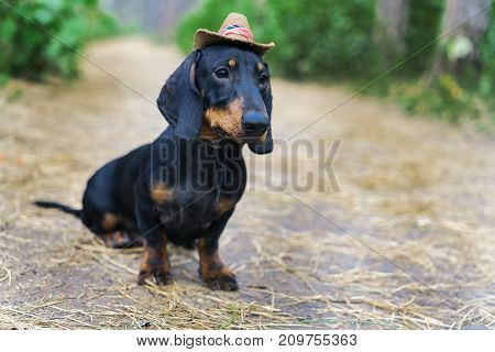 Nice portrait of a dog (puppy) breed dachshund black tan in the cap of a cowboy in the green forest