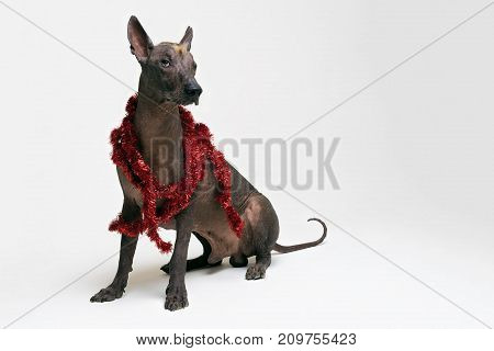 Festive dog Xoloitzcuintli in party red Christmas tinsel on gray background