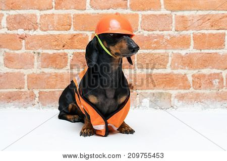 funny dog builder dachshund in an orange construction helmet and a vest against a red brick wall look at the camera