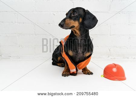 dog builder dachshund in an orange construction helmet and a vest against a white brick wall background