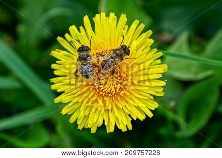 two big striped flies on a yellow flower