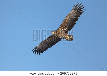 A white tailed eagle glides through the air against a background of blue sky. Horizontal