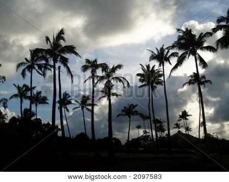 Coconut Palms At Dusk