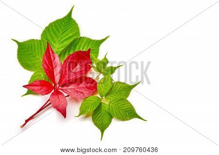Branch of red autumn grapes leaves. Parthenocissus quinquefolia foliage. Isolated on white background.