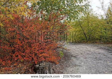 red bush by the road in the autumn forest