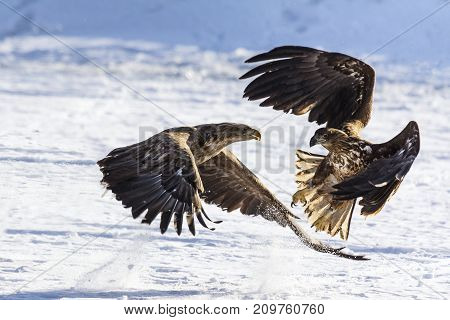 White-tailed Sea Eagle White-tailed Sea Eagles in Fight. White tailed eagles are among the largest and strongest birds of pray