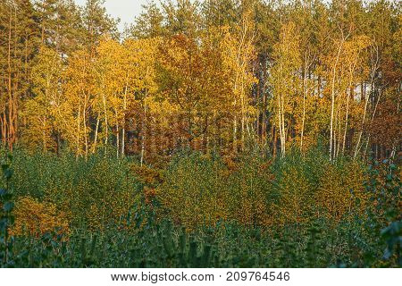 bright deciduous trees and pines in the autumn forest