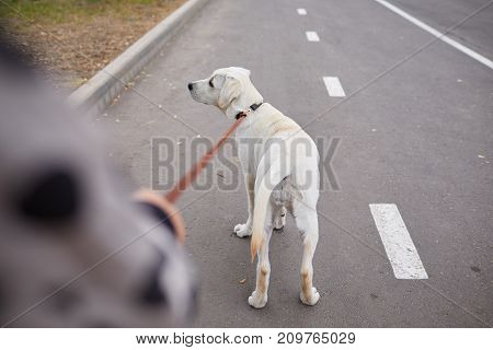 Funny doggie walking with owner on the street. Having fun outdoors on a natural background. Close-up of dog. Animal concept.