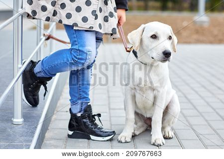 Beautiful white labrador retriver walking and siting on the street. Dog having fun with owner on the nature background. Close-up of doggy. Animal concept.