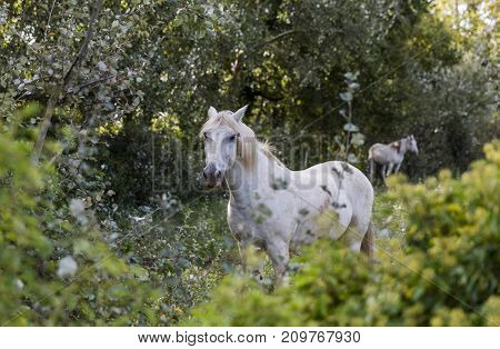 Beautiful white horse stands in the bushes in the Camargue national park in France