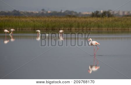 Flamingos in the Camargue national park in France
