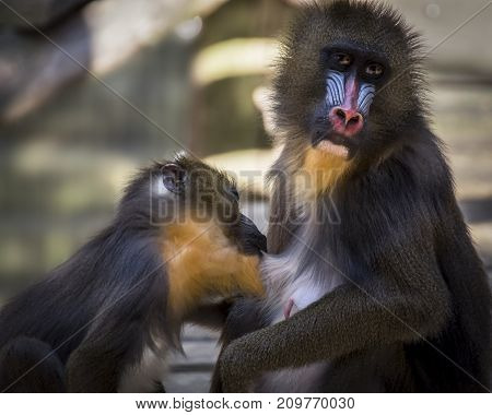 Mandrill monkey feeding milk to her baby