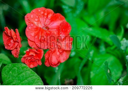 Blooming red geranium flowers on a natural background