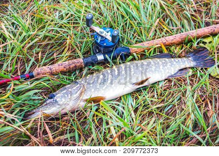 Pike, rod and baitcasting reel on a natural background