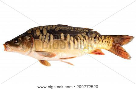 mirror carp or common carp isolated on white backround