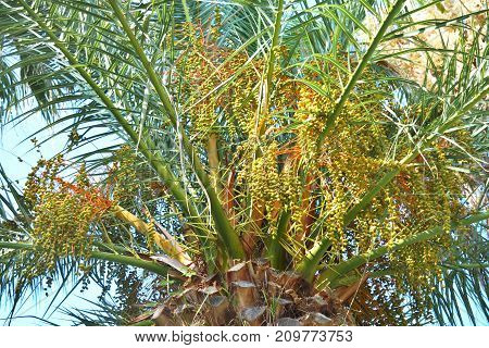 Leaves and immature dates on the top of the date palm in the daytime