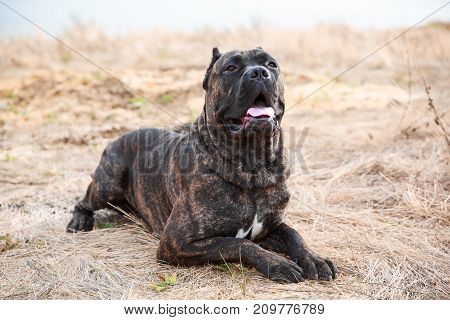 Funny doggie walking on the street. A dark doggie lying on the sand on a natural background. Close-up of dog. Animal concept.