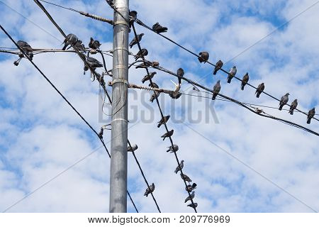 Pigeons on electric concrete pole. Group of bird resting on cable wires