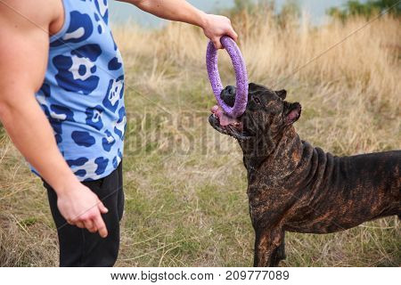 A big dark pitbull playing with owner outdoors. Cute dog standing near the man on the nature background. Close-up of doggie. Animal concept.