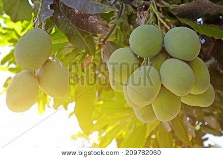 Close Up Of Mangoes On A Mango Tree.