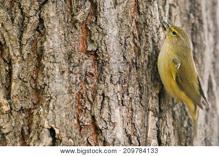 Common Chiffchaff or Phylloscopus collybita on a tree with copy space for text
