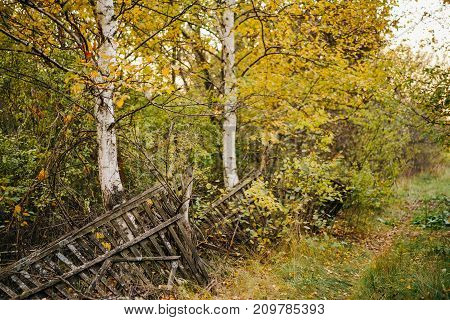 old wooden broken fence in an abandoned village between two birches. countryside autumn landscape.