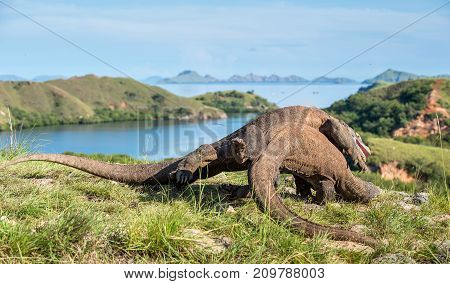 The Fight Of Komodo Dragons (varanus Komodoensis) For Domination. It Is The Biggest Living Lizard In