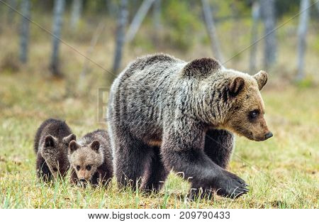 She-bear And Cubs Of Brown Bear (ursus Arctos Arctos) On The Swamp In The Summer Forest. Natural Gre