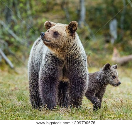 Closeup Portrait Of She-bear And Cubs Of Brown Bear (ursus Arctos Arctos) On The Swamp In The Summer