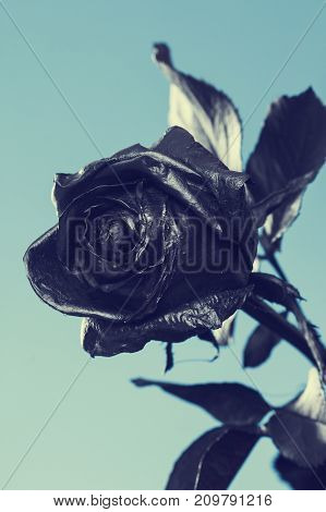 Black Rose. Concept symbol of sorrow melancholy and sad mood. Depression farewell and love. St. Valentine's Day